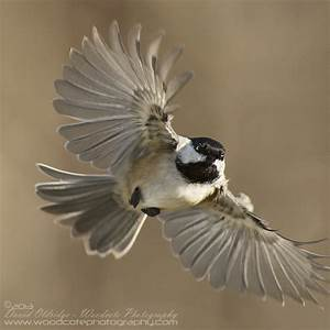Black Capped Chickadee on the wing | Woodcote Photography