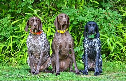 Gsp Dog Hunting Dogs Adventures