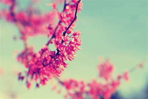 vintage red bud tree pink blue sky  photograph