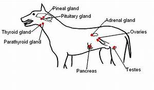The Anatomy And Physiology Of Animals  Endocrine System Worksheet  Worksheet Answers