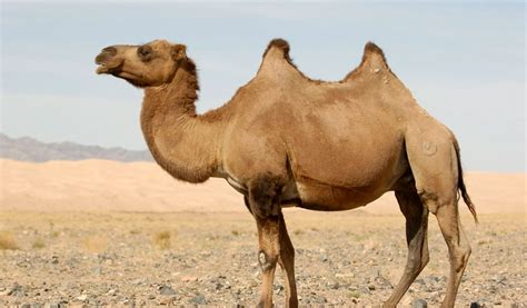 All About Camels Facts, Information & Pictures