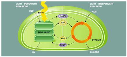 dependent definition light dependent reactions definition mechanism and Light