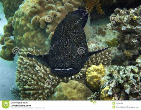 grouper spotted bora coral swimming between
