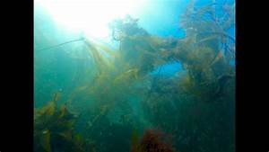 24 Hours Of Bull Kelp Growth In Under 20 Seconds