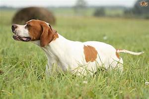 five interesting facts about the pointer dog breed