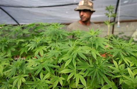 les conseils pour cultiver du cannabis du lundi cannabis