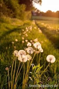 pusteblumen, auf, der, sommerwiese, im, sonnenuntergang