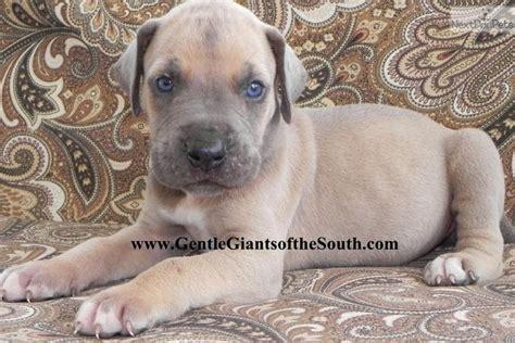 great dane puppy  sale  atlanta georgia bd