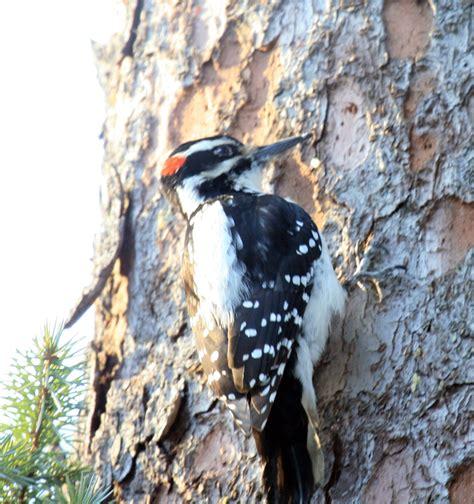hairy woodpecker picoides villosus in valdez alaska