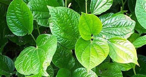 manfaat  khasiat daun sirih hijau  kesehatan