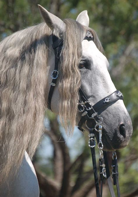 horse andalusian spanish horses tack jim odilon lusitano stallion head iberian stallions bridle raza pura pre odi farm alice stud