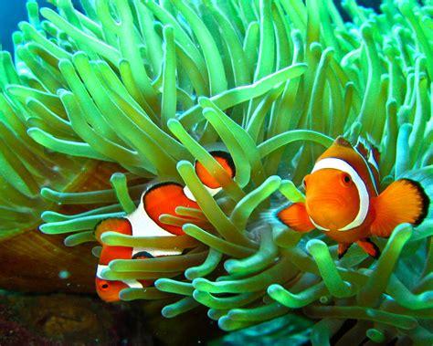 Sea Animal Wallpaper - sea animals clownfish and anemone wallpaper hd