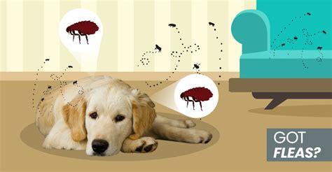rid  fleas naturally   dog  home