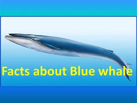 top 50 interesting facts about blue whale youtube