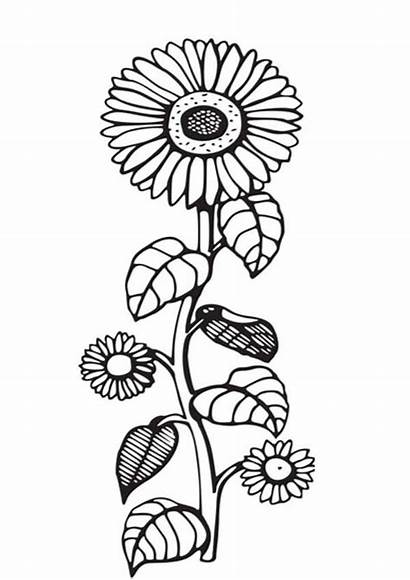 Sunflower Coloring Pages Seeds Template