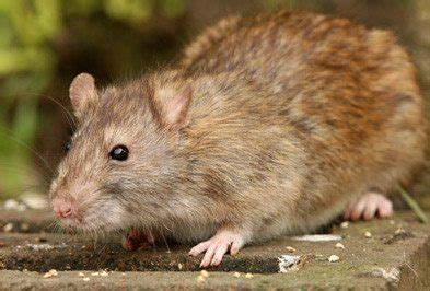 rodents types facts    identify rodent