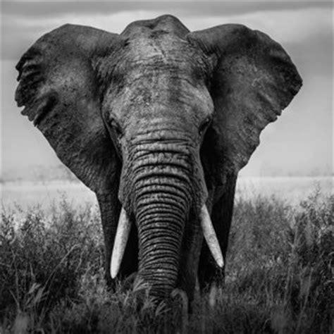 Tierbilder Schwarz Weiß by Beeindruckende Motive Afrikanische Tierbilder Bei Myposter