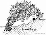Beaver Lodge Dam Clipart Drawing Beavers Tracks Coloring Lodges Parts Castor Animal Animals Sea Paddle Drawings Dams Kim Pages Activities sketch template