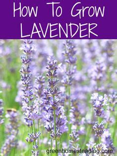 how to plant lavendar 1000 images about plant seeds of love on pinterest creeping phlox perennials and sun