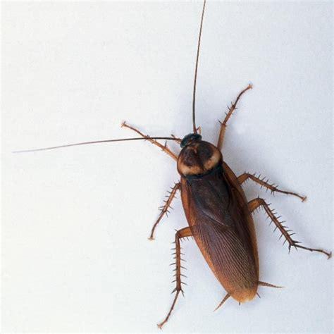Come Eliminare Scarafaggi Da Casa come eliminare gli scarafaggi in casa minerva2015 it