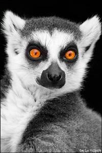Lemur. by Evey-Eyes on DeviantArt