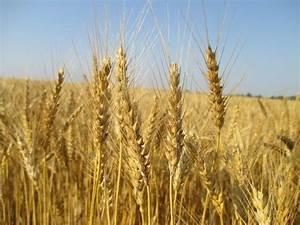 Grain Crops Update: Preparing for the Winter Wheat ...