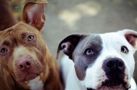 american staffordshire terrier hd wallpapers