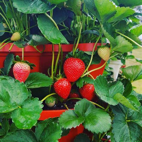 Vertical Gardening Strawberries by Vertical Gardening Strawberries Bekemeyerfamilyfarm