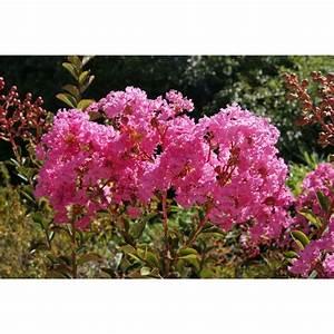 Taille Du Lilas Des Indes : lilas des indes rose fonc lilas d 39 t lagerstroemia ~ Nature-et-papiers.com Idées de Décoration