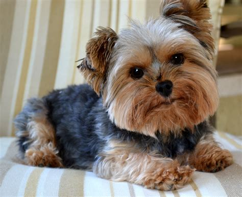 Images Of Yorkies What Is A Yorkie