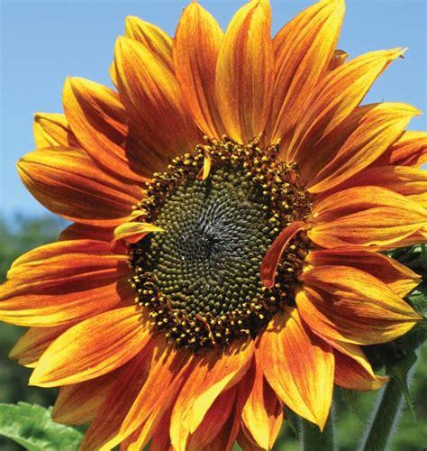 Autumn Beauty Sunflower Seeds - West Coast Seeds