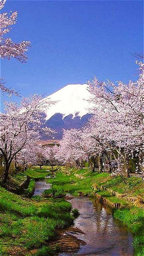cherry blossoms mount fuji japan travel places