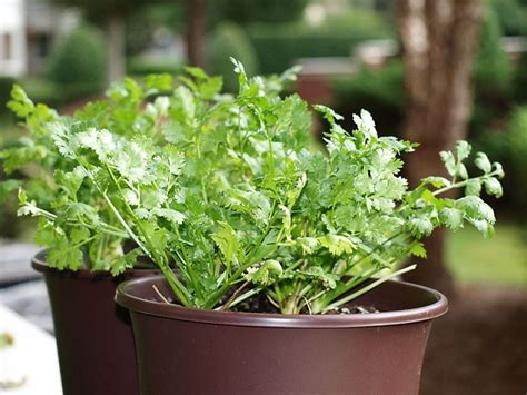 12 Best Herbs To Grow Indoors  Indoor Herbs Balcony