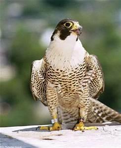 le faucon plerin falco peregrinus est un rapace robuste With couleur qui va bien avec le gris 1 le jean gris est tendance blog mode en france