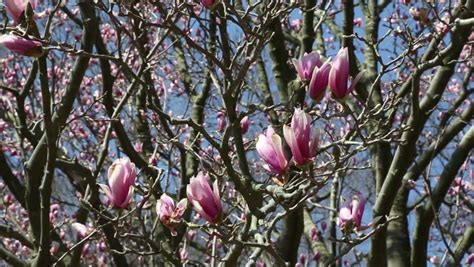ornamental magnolia tree ornamental pink tulip magnolia hd stock footage clip