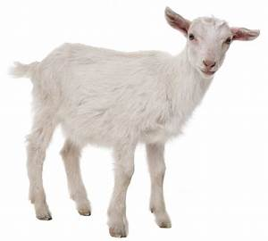 Multiple Goats Diagnosed With Senna Plant Toxicosis
