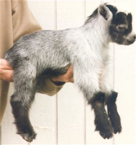 goat colors color genetics color patterns and the pygmy goat