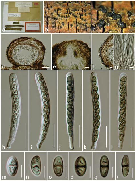 Didymosphaeria decolorans (holotype). a. Herbarium packet ...