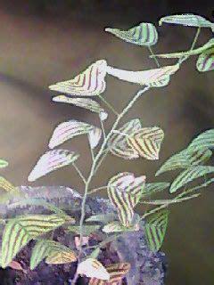 menanam bunga asoka tanamanbaru