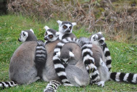 zootografiando mi coleccion de fotos de animales lemur de cola anillada lemur catta