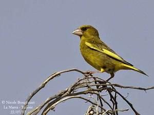 Oiseau Jaune Et Bleu : oiseau aile jaune oiseau plumage vert tete rouge jitep ~ Melissatoandfro.com Idées de Décoration