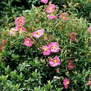 ciste planter et entretenir ooreka With modeles de rocailles jardin 2 crassula planter et entretenir ooreka