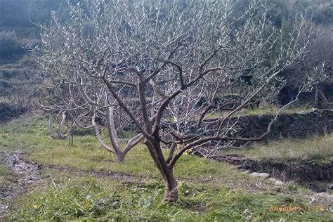 quand tailler l olivier quand tailler l olivier with quand tailler l olivier la taille des