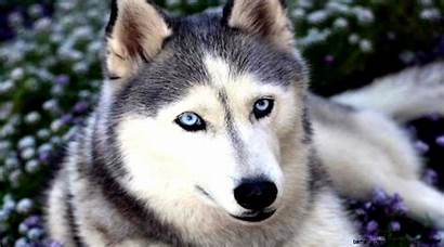 Husky Siberian Puppies Puppy Backgrounds Cat Wallpapers