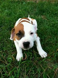 My Puppy Pitbull American Bulldog Boxer Mix 8 Weeks Old ...