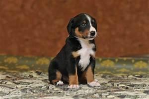 appenzeller puppy 2008 11