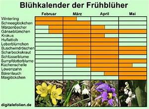 Aufbau Der Zwiebel : biologie der fr hbl her ~ Lizthompson.info Haus und Dekorationen