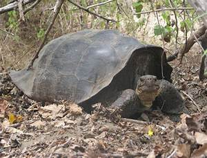 Tortoise thought to be extinct, is found now | Blue Line