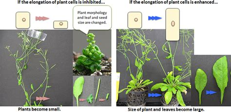 height of plant researchers examine mechanism determining plant height and leaf and seed size