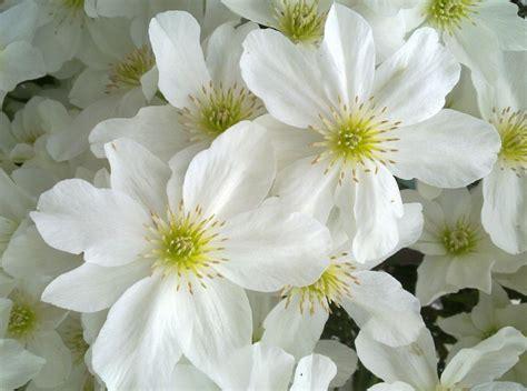 white flower varieties white clematis varieties www pixshark com images galleries with a bite
